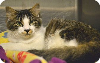 Domestic Mediumhair Cat for adoption in Beaumont, Texas - Leonardo