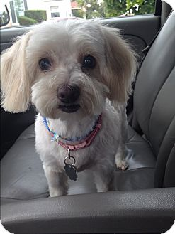 Maltese Dog for adoption in Santa Monica, California - Tilly