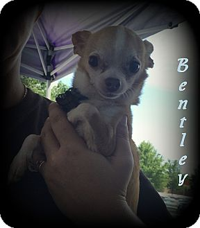 Chihuahua Dog for adoption in Denver, North Carolina - Bentley