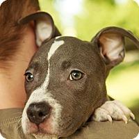 Adopt A Pet :: Klinger - Reisterstown, MD