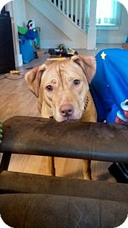American Staffordshire Terrier Mix Dog for adoption in Kewanee, Illinois - Honey