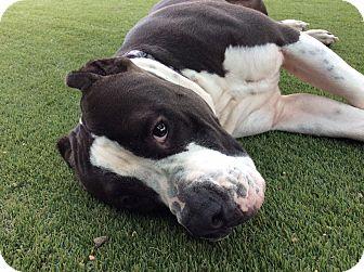 Pit Bull Terrier/Mastiff Mix Dog for adoption in Santa Monica, California - Beethoven