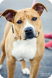 Pit Bull Terrier Mix Dog for adoption in Gainesville, Florida - Sunny