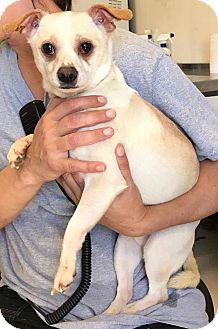 Chihuahua Mix Dog for adoption in Southern Pines, North Carolina - Vinnie