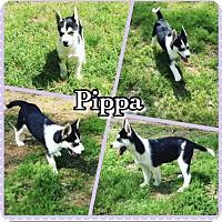 Adopt A Pet :: Pippa - Longview, TX
