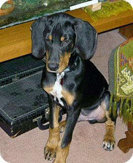 Black and Tan Coonhound Puppy for adoption in Ontario, Ontario - Buck