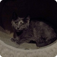 Adopt A Pet :: Gible - Sterling Heights, MI