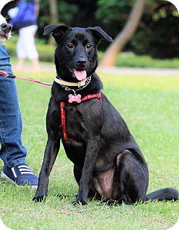 Labrador Retriever/Shiba Inu Mix Dog for adoption in San Mateo, California - O-May