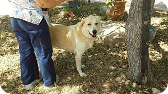 Great Pyrenees/Shepherd (Unknown Type) Mix Dog for adoption in Olympia, Washington - Nala