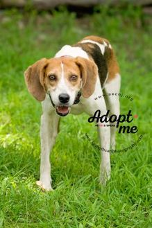 Hound (Unknown Type) Mix Dog for adoption in Lindenwold, New Jersey - Louise