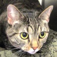 Adopt A Pet :: Eclipse - Memphis, TN