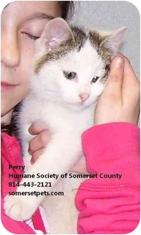 Domestic Shorthair Kitten for adoption in Somerset, Pennsylvania - Perry Patsy Penny