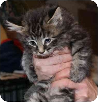 Domestic Longhair Kitten for adoption in Millerton, Pennsylvania - Kitten 3