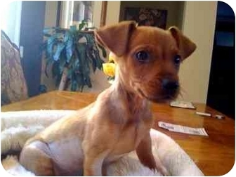Dachshund/Chihuahua Mix Puppy for adoption in San Diego, California - Staples