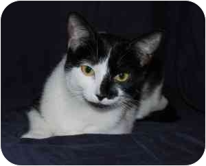 Domestic Shorthair Cat for adoption in Wayne, New Jersey - Emily