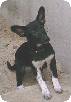 Chihuahua/Terrier (Unknown Type, Small) Mix Puppy for adoption in Portland, Maine - Bootsie
