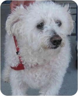 Bichon Frise Mix Dog for adoption in Mt. Prospect, Illinois - Paco