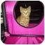 Photo 1 - Domestic Shorthair Kitten for adoption in Plainfield, Illinois - Simba