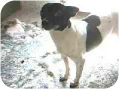 Rat Terrier Dog for adoption in Hawthorne, California - Apple