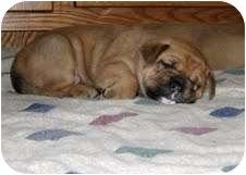 English Bulldog/Golden Retriever Mix Puppy for adoption in conyers, Georgia - Golden Bulldog Puppies