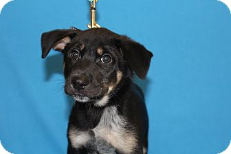 Corgi/Welsh Corgi Mix Puppy for adoption in Broomfield, Colorado - Krypto