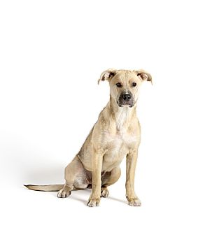 Black Mouth Cur/Shar Pei Mix Puppy for adoption in Dallas, Texas - Jazzy