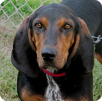 Black and Tan Coonhound Dog for adoption in Hagerstown, Maryland - Maybelline