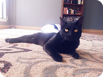 Domestic Shorthair Cat for adoption in Arlington/Ft Worth, Texas - Howard