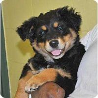 Adopt A Pet :: Xena - New Boston, NH