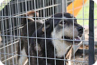 Shepherd (Unknown Type) Mix Dog for adoption in Henderson, North Carolina - Lila