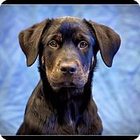Adopt A Pet :: Zoe - Wickenburg, AZ