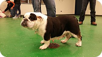 English Bulldog Dog for adoption in Park Ridge, Illinois - Zoe