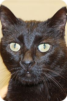 Domestic Shorthair Cat for adoption in Windsor, Virginia - Blackie, Bunny and Whitey