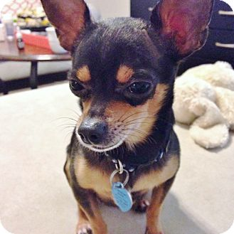 Chihuahua Dog for adoption in AUSTIN, Texas - Willy