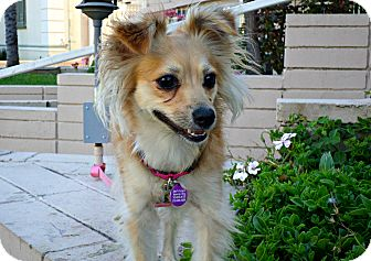Spaniel (Unknown Type) Mix Dog for adoption in Los Angeles, California - Loretta