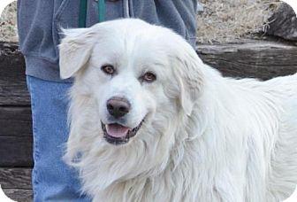 Great Pyrenees Dog for adoption in Parkville, Missouri - Cavanaugh