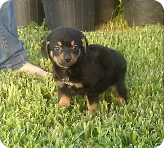 Poodle (Standard) Mix Puppy for adoption in Houston, Texas - MAGGIE