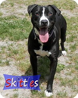 American Bulldog/Labrador Retriever Mix Dog for adoption in Ocean View, New Jersey - Skittles