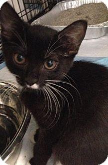 Domestic Shorthair Kitten for adoption in Gainesville, Florida - Moss