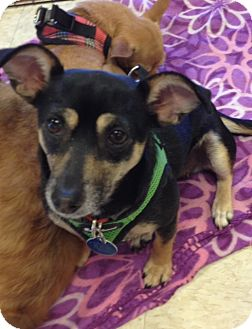 Jack Russell Terrier/Dachshund Mix Dog for adoption in Gilbert, Arizona - Maddie