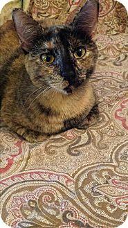 Domestic Shorthair Cat for adoption in Wichita Falls, Texas - Kit Kat