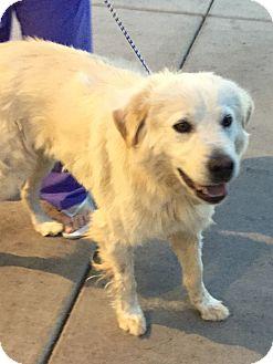Golden Retriever Mix Dog for adoption in Las Vegas, Nevada - Boy