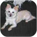 Chihuahua Dog for adoption in Pittsboro/Durham, North Carolina - Leia