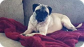 Pug Dog for adoption in Grapevine, Texas - Marietta