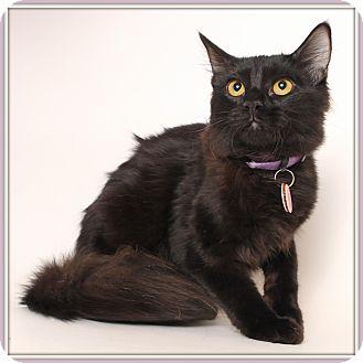 Domestic Mediumhair Cat for adoption in Glendale, Arizona - Elegance