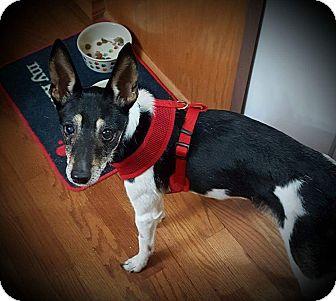 Fox Terrier (Toy)/Rat Terrier Mix Dog for adoption in Lisbon, Iowa - Benny