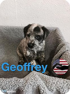 Australian Cattle Dog Mix Puppy for adoption in Westminster, Colorado - Geoffrey