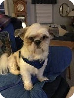 Shih Tzu Mix Dog for adoption in Worcester, Massachusetts - Sherlock Holmes