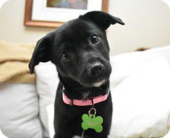 Labrador Retriever Mix Puppy for adoption in Brattleboro, Vermont - Paige