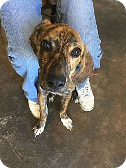 Plott Hound/Mountain Cur Mix Puppy for adoption in Sweetwater, Tennessee - Charlene Darling